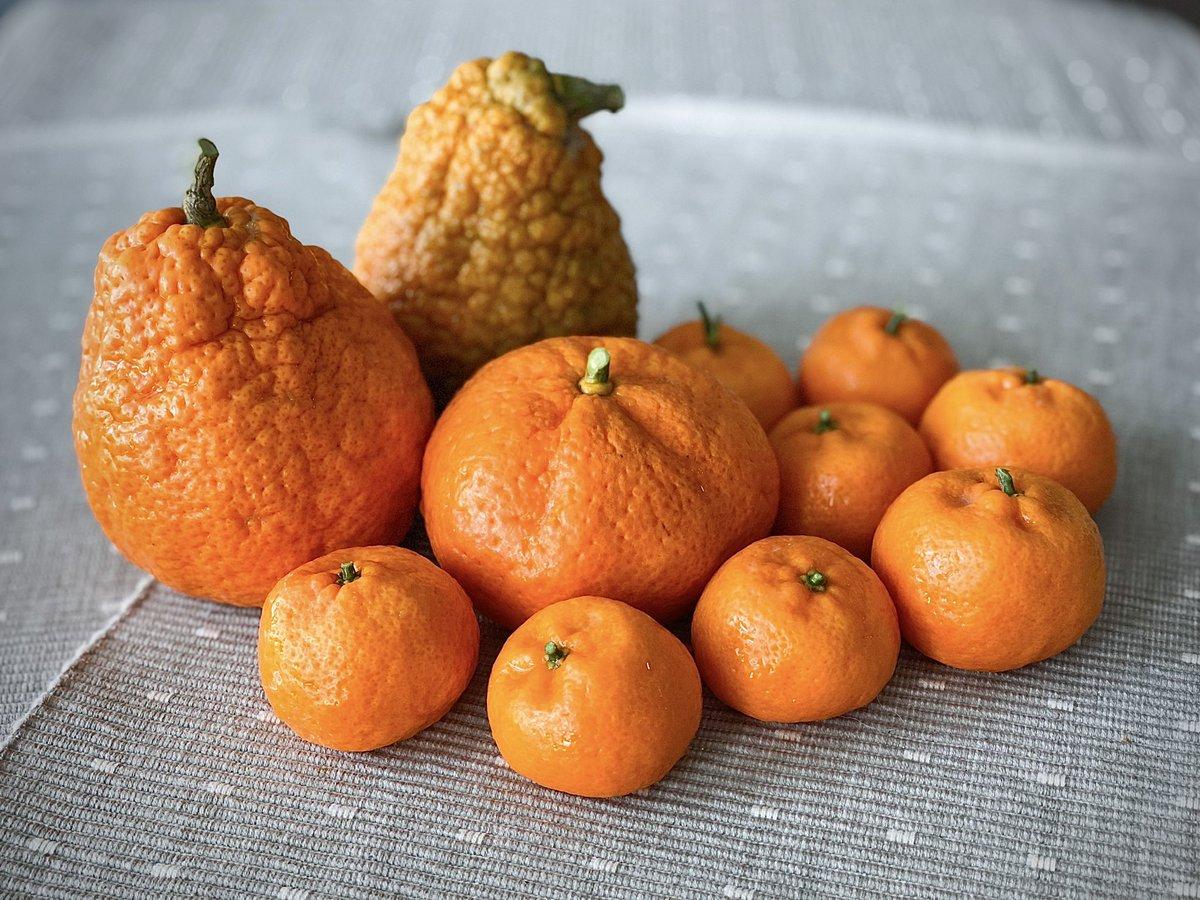Getting my farming simulator on IRL 👩🏻🌾  First harvest of my organic Satsuma and Kishu mandarin oranges! 🍊  #gardening #organic #firstharvest #alwaysgrowing #food #fruits #growyourown #orange #mandarin #foodlover #foodie #HealthyEating #HealthyFood https://t.co/uiffN76rHE