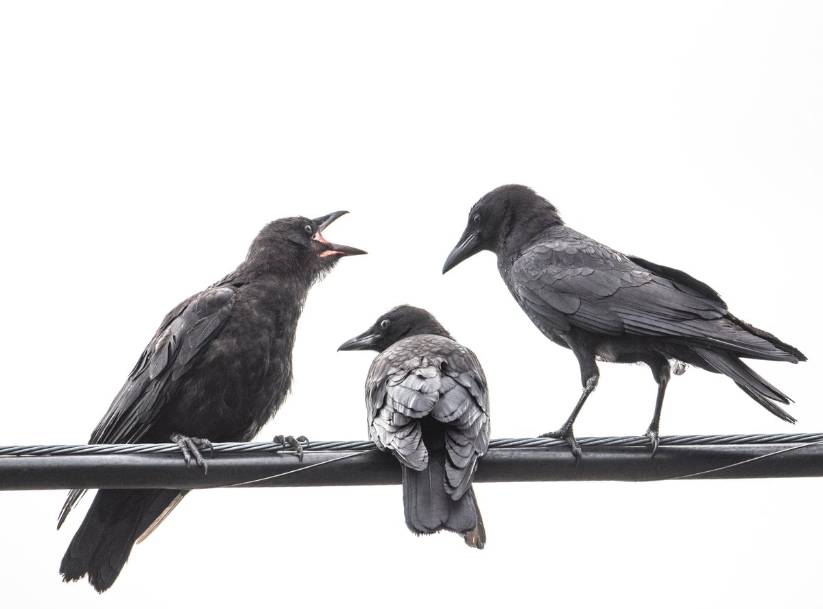 Two young #crows and attentive adult. 🖤 https://t.co/IipuZ9s35q