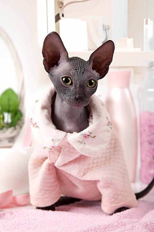 #Caturday:  #Pajamas #PajamaParty #PJs #Sleepy #Cat #Cats #CatsInCostumes #SphynxCat