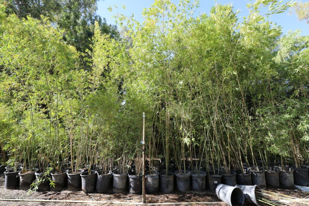 """Nature is instructively self-healing  Bamboo could turn degraded land (abandoned farms, landfills, old mining sites, etc.) into a ranking #carbonsink. """"I wouldn't point to #bamboo for long-term #carbon storage, but it does have its superpowers,"""" Salton Sea?"""