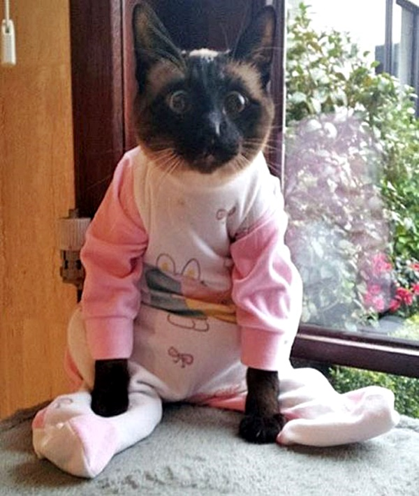 #Caturday:  #Pajamas #PajamaParty #PJs #Sleepy #Cat #Cats #CatsInCostumes