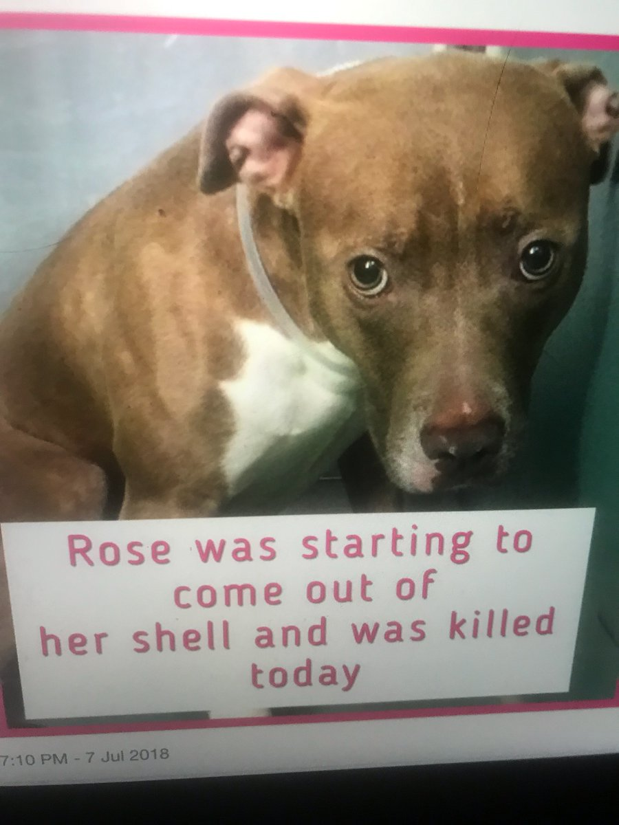 """Every Sat I TWEET for ROSE the #NYC #Dog who was EXECUTED by the #NYCACC Kill Pound shortly after shooting a """"PROOF OF LOVE"""" video. I refuse to let her name be forgotten.  Today I honor her by hoping for a new #NoKill NYC Mayor in 2021.  #CAPA #SARA #ArrestDeblasio"""