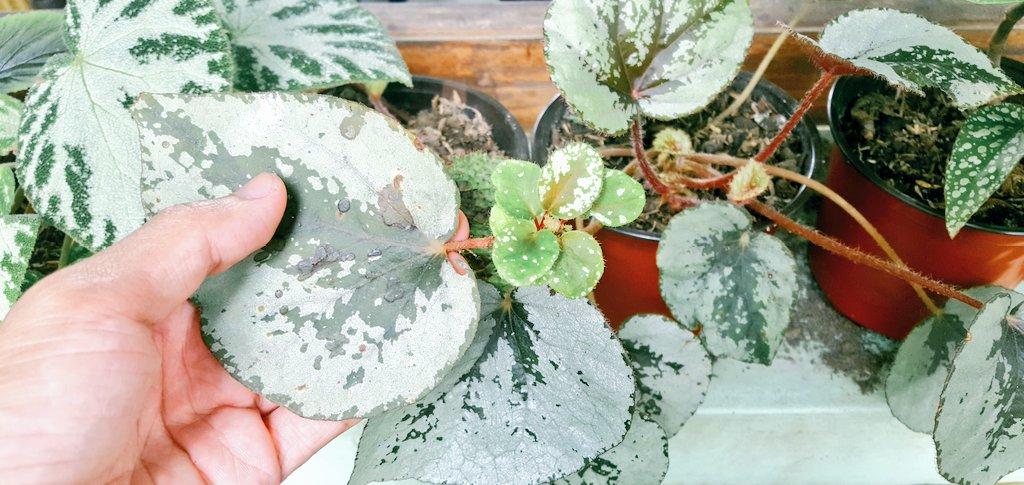 My first successful leaf propagation 😁😁 kilig  #plantito #plantatay #plantdad #begonia #green #plant