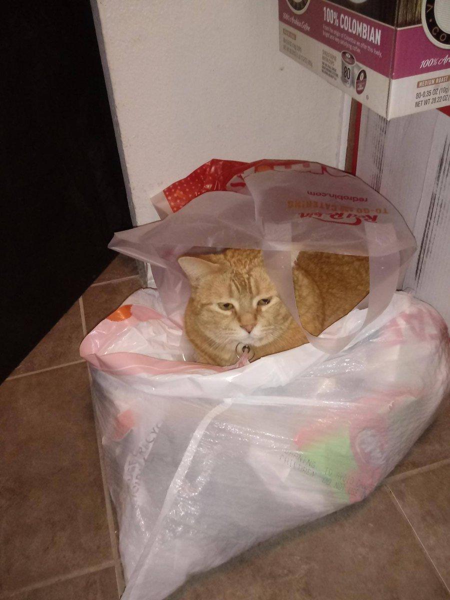 #catsjudgingkellyanne Pumpkin Pie is searching through the trash ...for the rest of Kellyanne 'takes.'