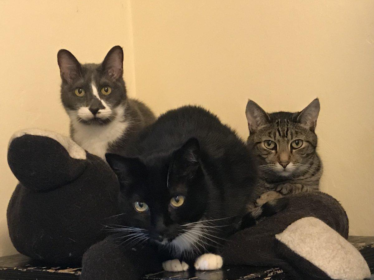 @BitchestheCat Diva, Groucho & Gummitch are also among the #Catsjudgingkellyanne