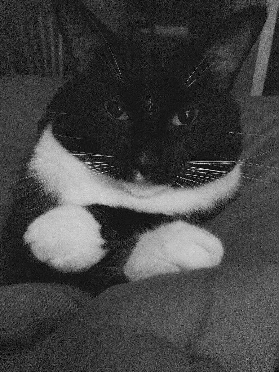 #catsjudgingkellyanne My notorious BFP (Big Fat Paulie)