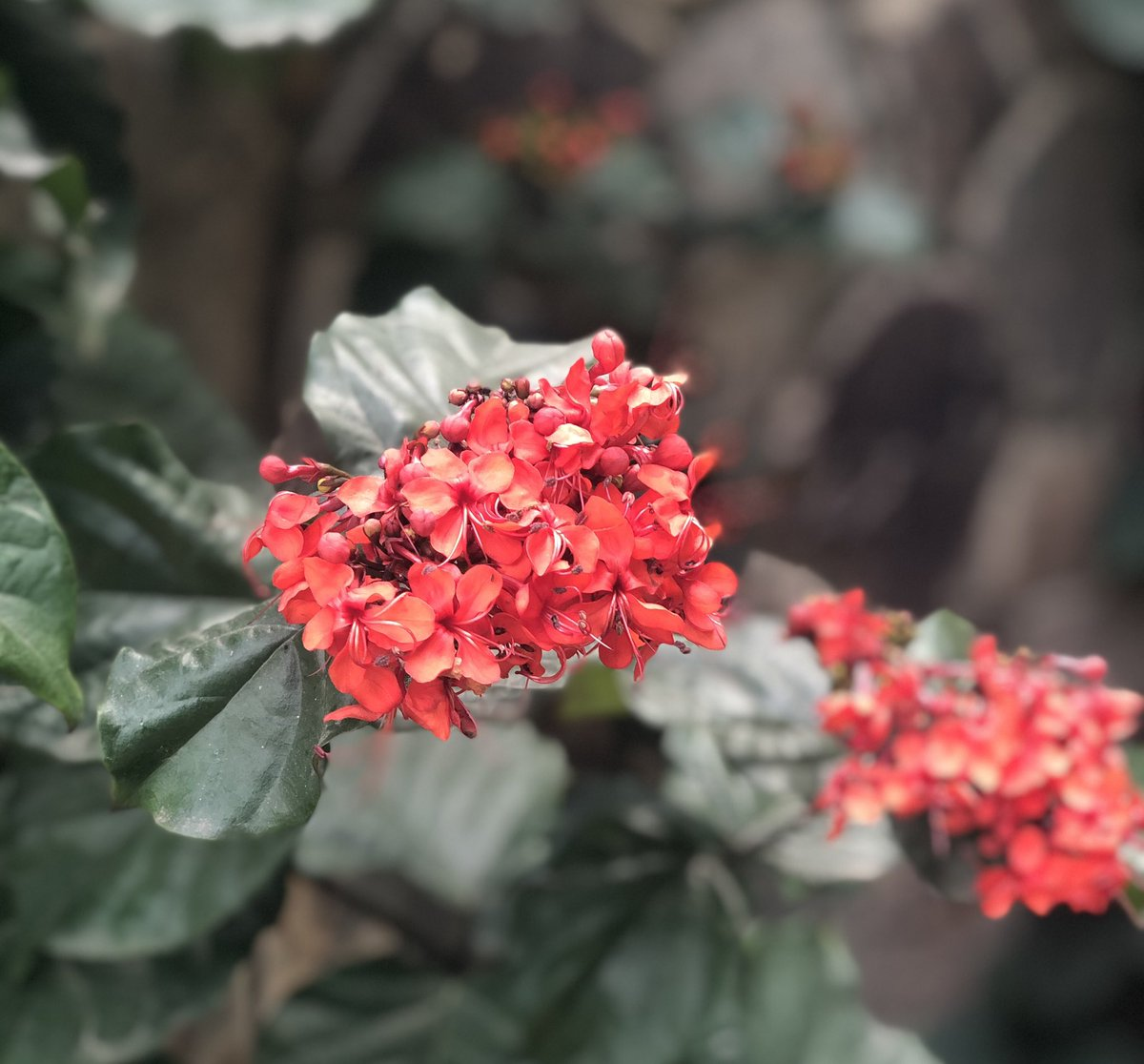 Morning meeting with Clerodendrum ! The climber with lush green foliage and bright red bunch of flowers never ceases to attract us. #nature #gardens