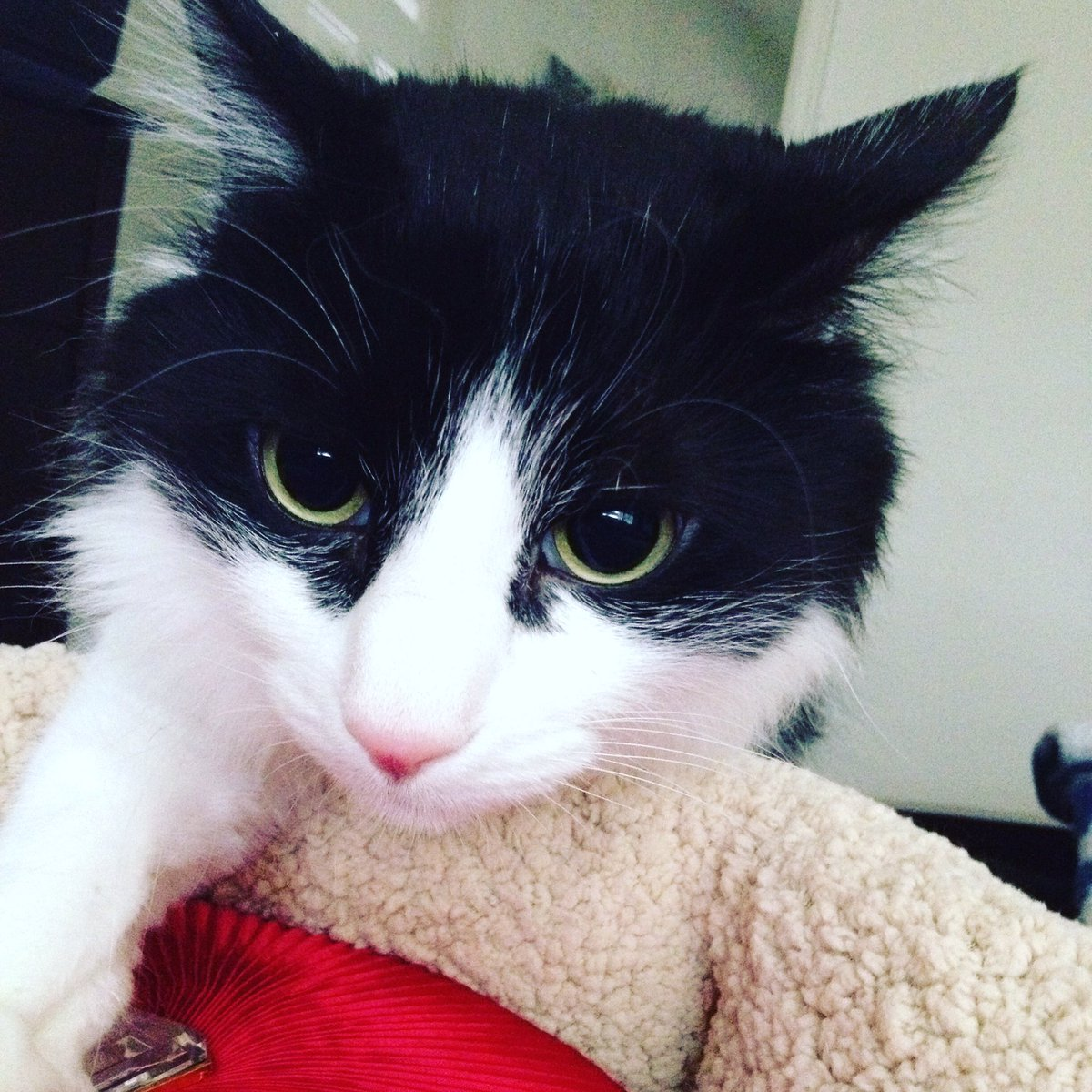 "Gizmo says ""I'm Gonna getcha!"" #catsjudgingkellyanne"
