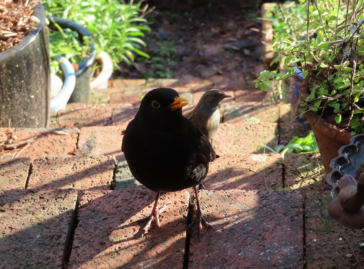 I turn round from where I am kneeling down, gardening and find the blackbird and dunnock wish to ask a few questions.  #exercise #TwitterNatureCommunity #nature @Natures_Voice @BBCSpringwatch #countryfile #loveukweather #dailyphoto #Winterwatch #sundayvibes  #GardenWildlife