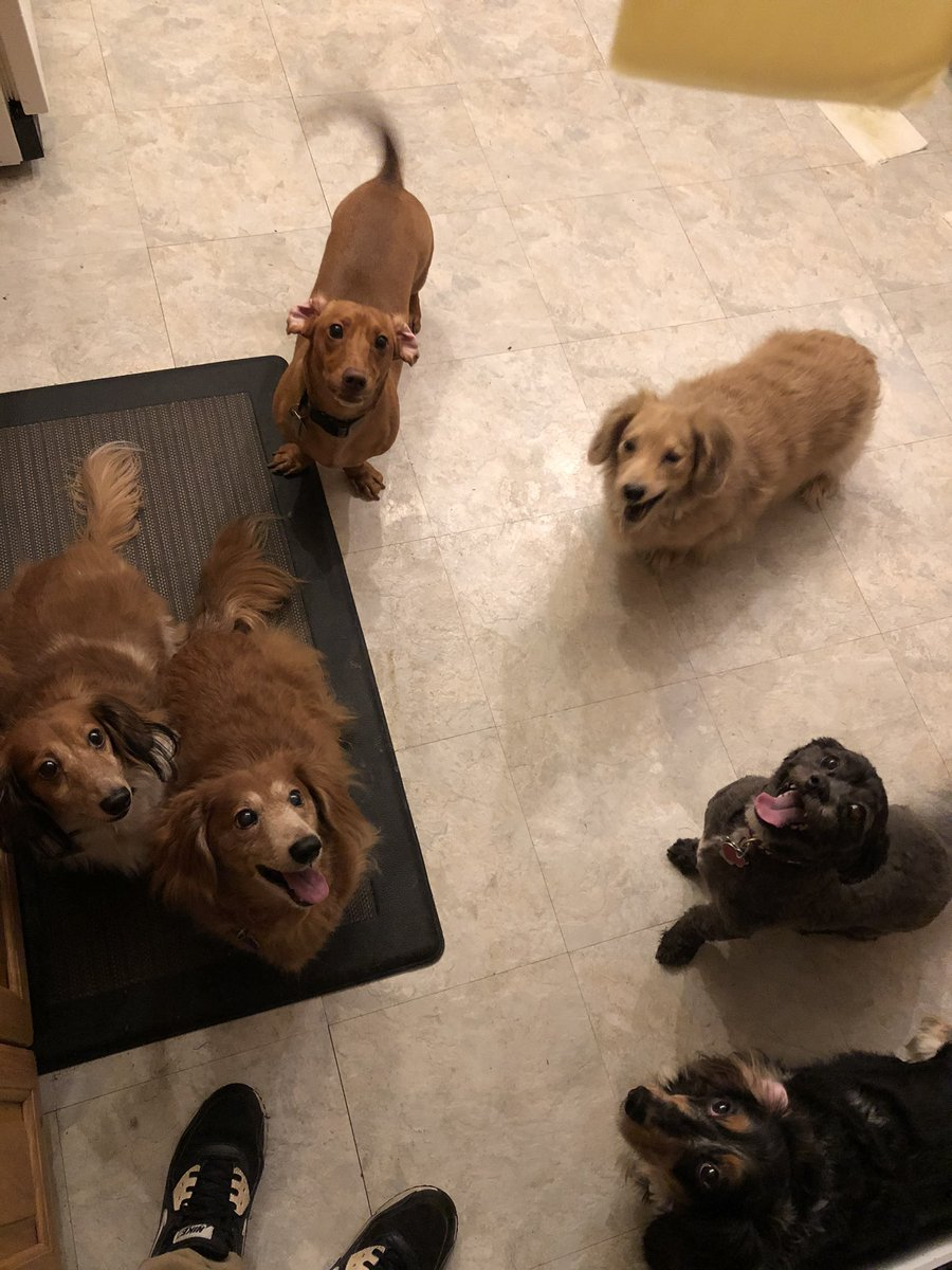 Since #Dachshunds are trending and I have 5 of them. Here is my pack.   IMO, the best dog breed. I will never not have a #dachshund or a few of them. #DachshundMom #WeinerDogMom #DogMom