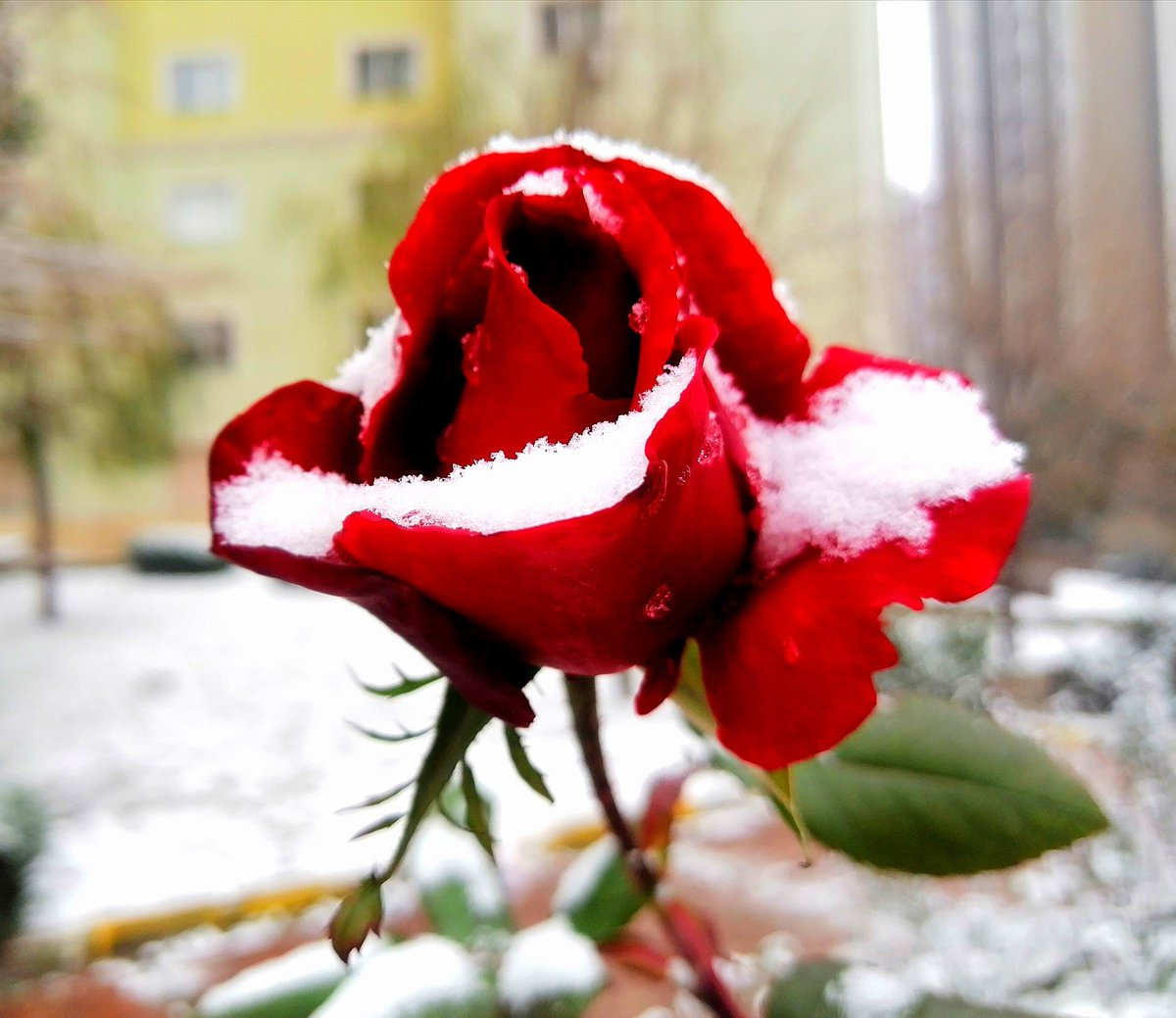 Still resisting...  #nature #istanbuldakaryağıyor #NaturePhotography #photography #pazar #MutluPazarlar #Mobile #huawei #roses #sundayvibes