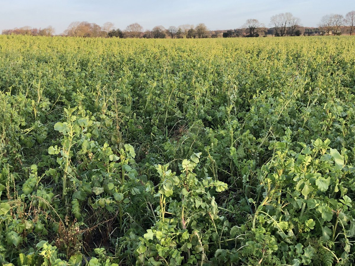 Got to love #covercrops This mix is pre #potatoes @walkers_crisps  Water efficient #trickleirrigation at the ready for 🤞April planting #carbon #nutirent #cleanwater #soilhealth #biodiversity  I even got my first #egret sighting on this patch #farming #ForNature