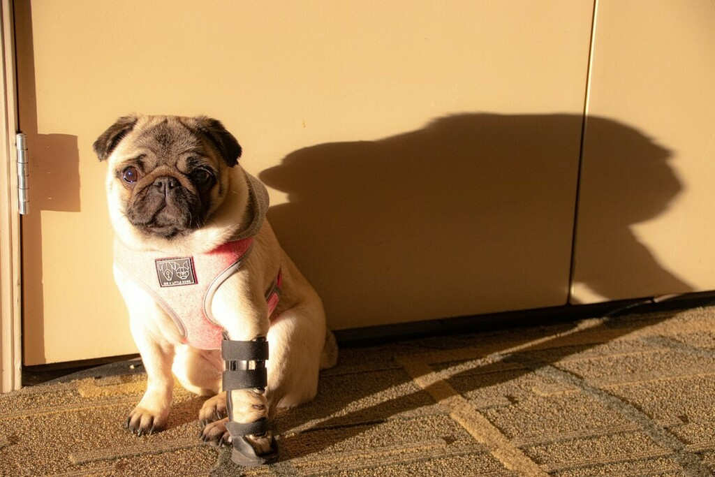 If there sun, I will sit in it. That's just what I do.  - - - - -  #pugpuppy #pugsofinstagram #pugs #Philomenapug #puglove #puglife #speakpug #dogsofinstagram #sassypug #weeklyfluff #dogsofbark #awesomealpharetta #philandpenny #carlino #pugsnotdrugs #pug…