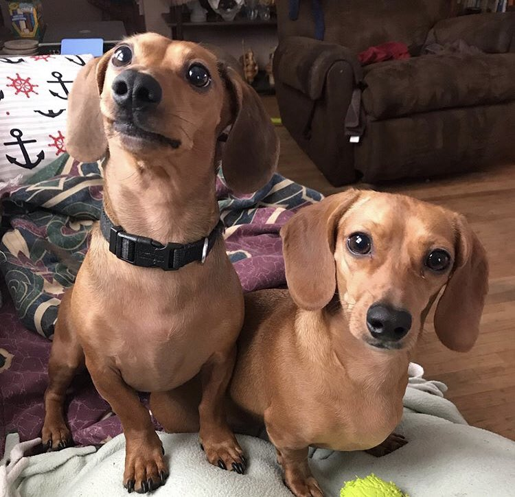 My sweet babies, Rusty and Penny  #Dachshunds