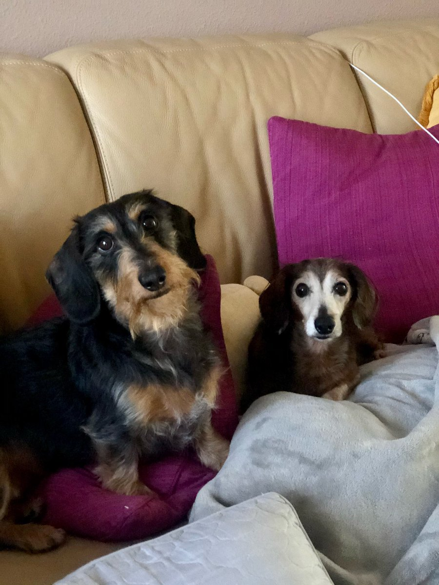 #Dachshunds are trending so here I present to you my sister's two lovely dogs. One is my furry nephew, Fozzie and the other is a foster named Bucky who is just as cute. They're the sweetest right @onelettertwice?