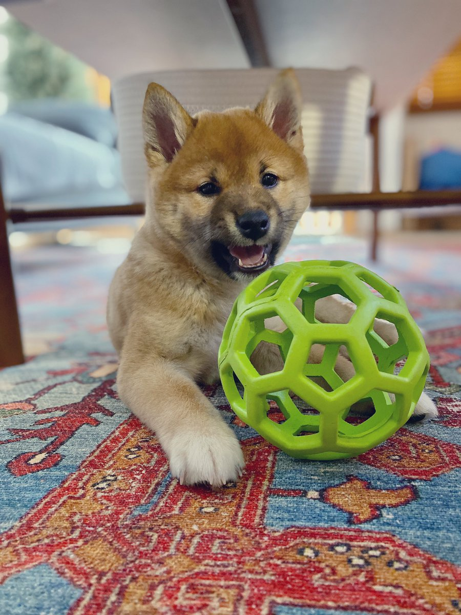 Su-paw excited about my new toy! 🐾🐶🧡   #shibainu #shiba #shibalove #puppylove #puppy #weeklyfluff #dogsoftwitter