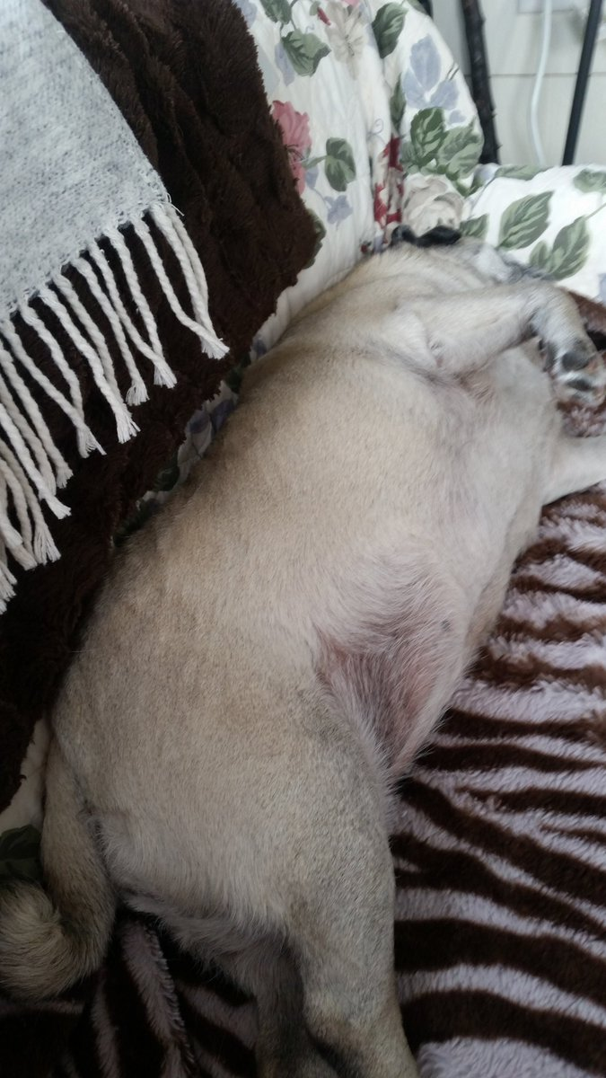 """#SundayMorning  As soon as Mom put a clean quilt on the love seat, I demanded """"up"""" & bellyrubs  Happy #pug"""