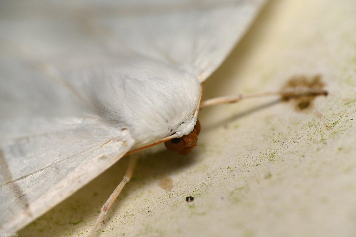 ウスキツバメエダシャクの にらみつける! (11/1) #photography #bugphoto #bugphotography #moth #Ourapteryx #nivea