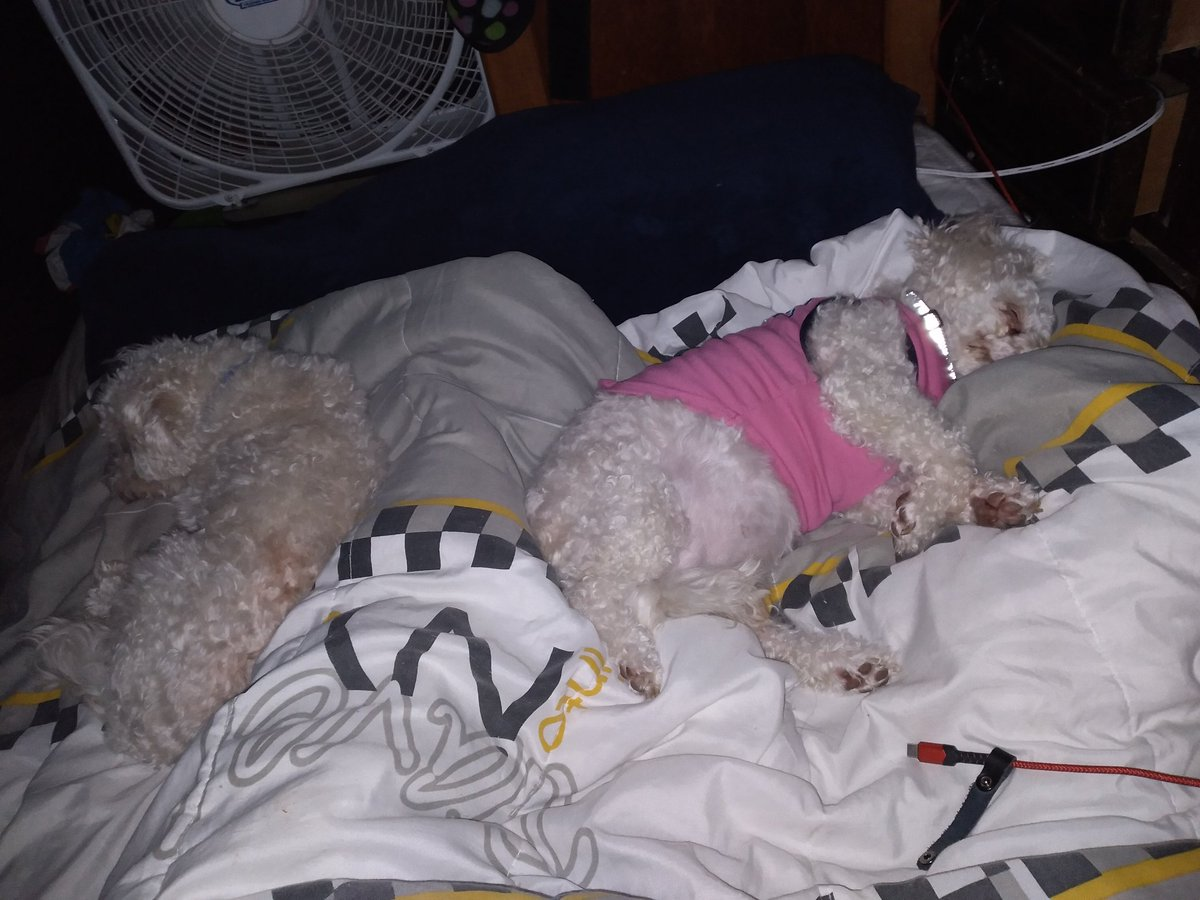 Time To Nap. Happy 🐩🐩 Sunday.   #Lifes A #Wonder #Dont #Cha #Think #Rescued #Poodles #Two #Puppies #Doggies #Cant #Hang With #Me #Settle #Down For #Bed #Daily #Blogger #Random #Posts #My #Photograph #InstaPic  #GiveBack #Love #Them #AdoptDontSop #Goodnight😴