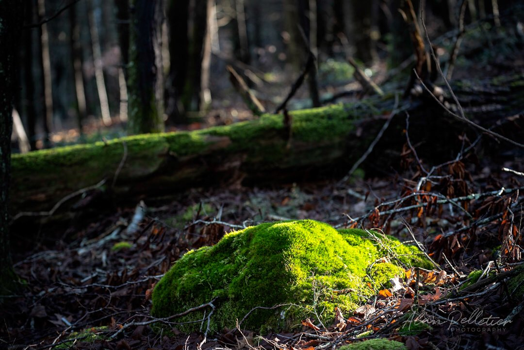 Mossy green glow exploring the woodlands in Devil's Hopyard Sp in East Haddam #CT #woodlands #moss #trees #picoftheday #thephotohour #hiking #hikingadventures #Sundayfunday   #landscapes #light #glow #green #sundayvibes #Nikon