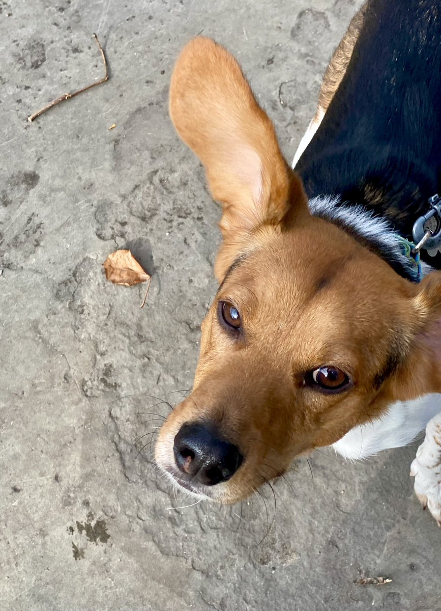 Sniff stops and ear flops! 🧡 Enjoy Sunday morning strolls with cutie, Emmett. Check out our very special boy's bio at https://t.co/FHGaxCOzkP. Next stop... home! #adoptme #AdoptDontShop #chicago #beagles #love https://t.co/6T2HQ4XRMU