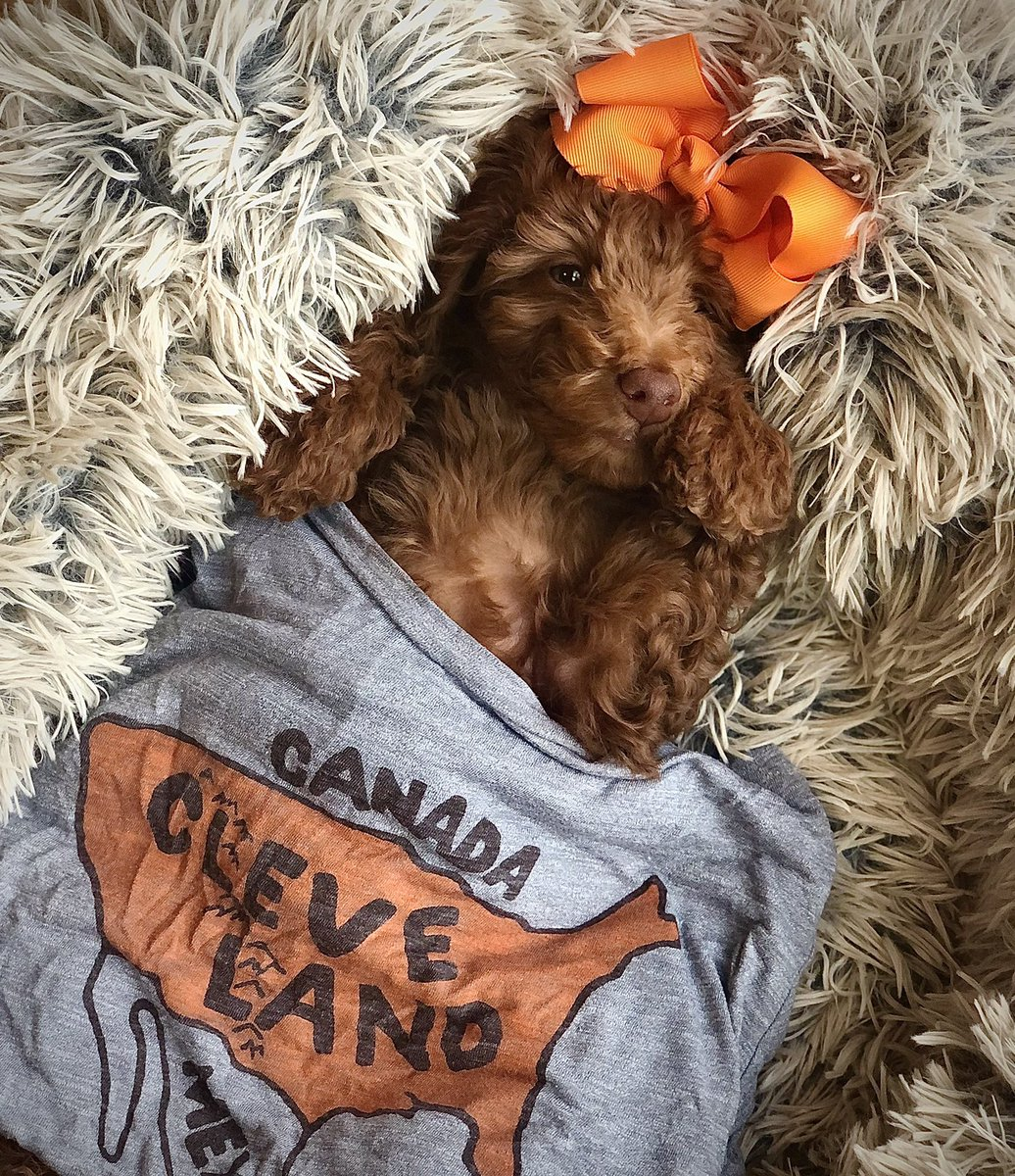 @clevelanddotcom Francine the puppy dawg is taking her pre-game nap 😴🐶 #Browns #WeWantMore