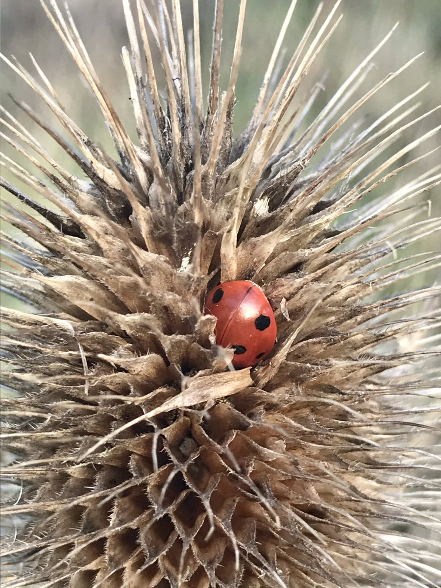 Spotted today on the Waveney Valley Marshes. I'm still not sure how this can be 100% comfortable or a cosy place to rest, but hey ho, what do I know, I'm not a ladybird 🐞 #ladybird @UKLadybirds