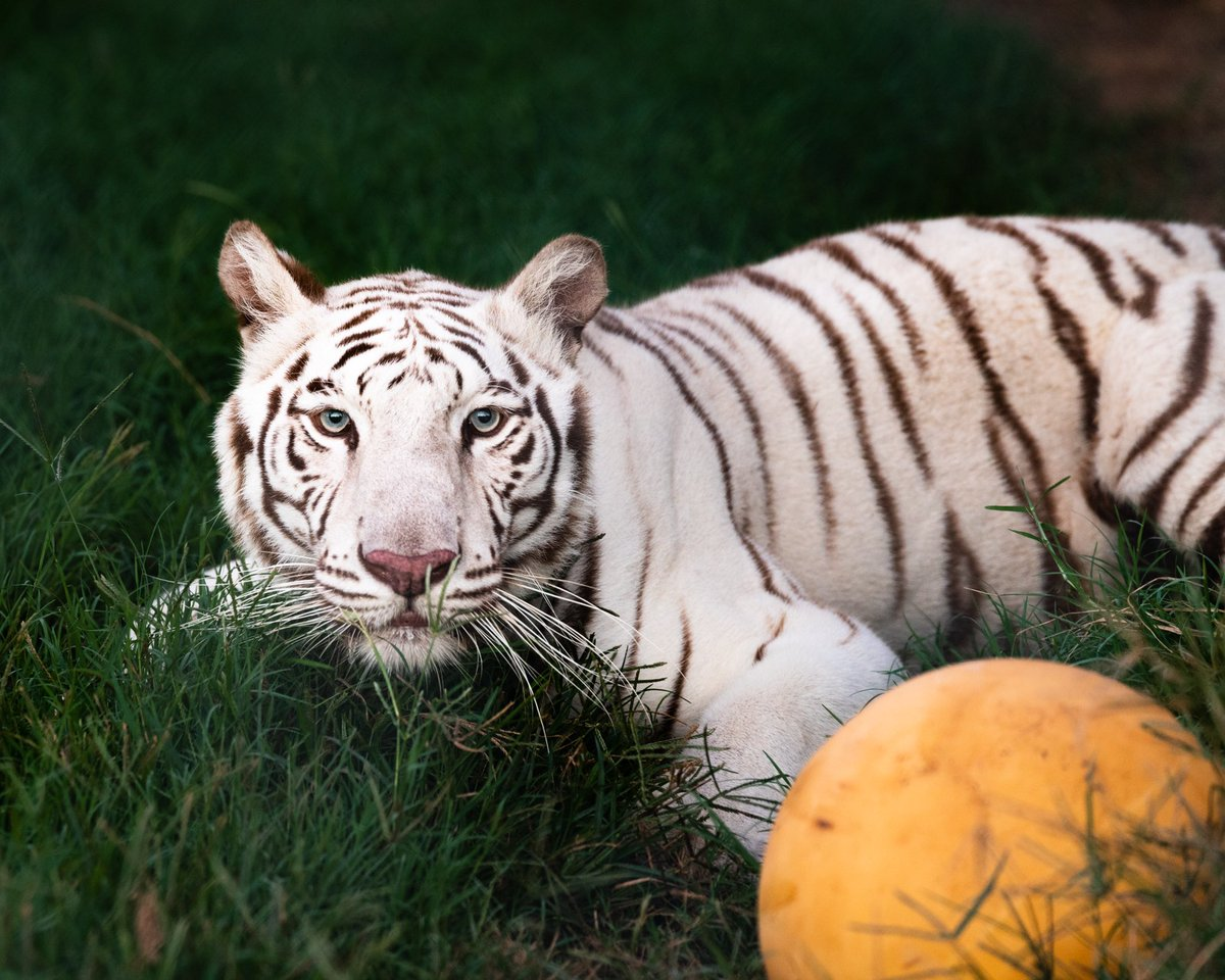 Gorgeous shot of Princess! Just go ahead and zoom in on those eyes...you will get lost in them! And check out her tiny teefers while you're there! 📷: @whereverimaydutle #daretocare #carerescuetexas #tiger #whitetiger