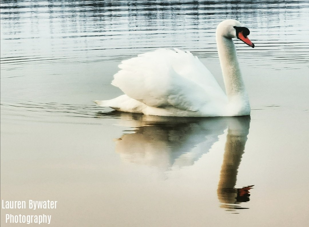 See the beauty in your reflection. ° ° ° ° ° #Shropshire #SWAN #nature #NaturePhotography #birds #reflections #photography #photooftheday #photograghy #mobilephotography #Huawei #huaweip30pro #sundayvibes #SundayThoughts