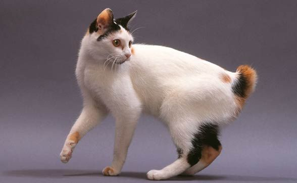 The Japanese Bobtail is a breed of domestic cat with an unusual bobtail more closely resembling the tail of a rabbit than that of other cats. The variety is native to Japan & Southeast Asia, and frequently appears in traditional folklore and art. The breed is now found worldwide.