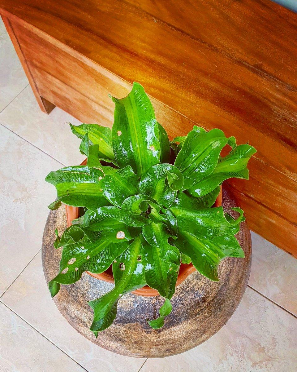 #plant #furtuneplant #plantito #plantdad #plantsmakepeoplehappy