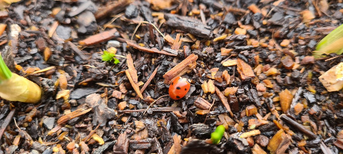 A #ladybird searching for food or 💕 in amongst some bulbs making their way to daylight #Winter #Springonitsway