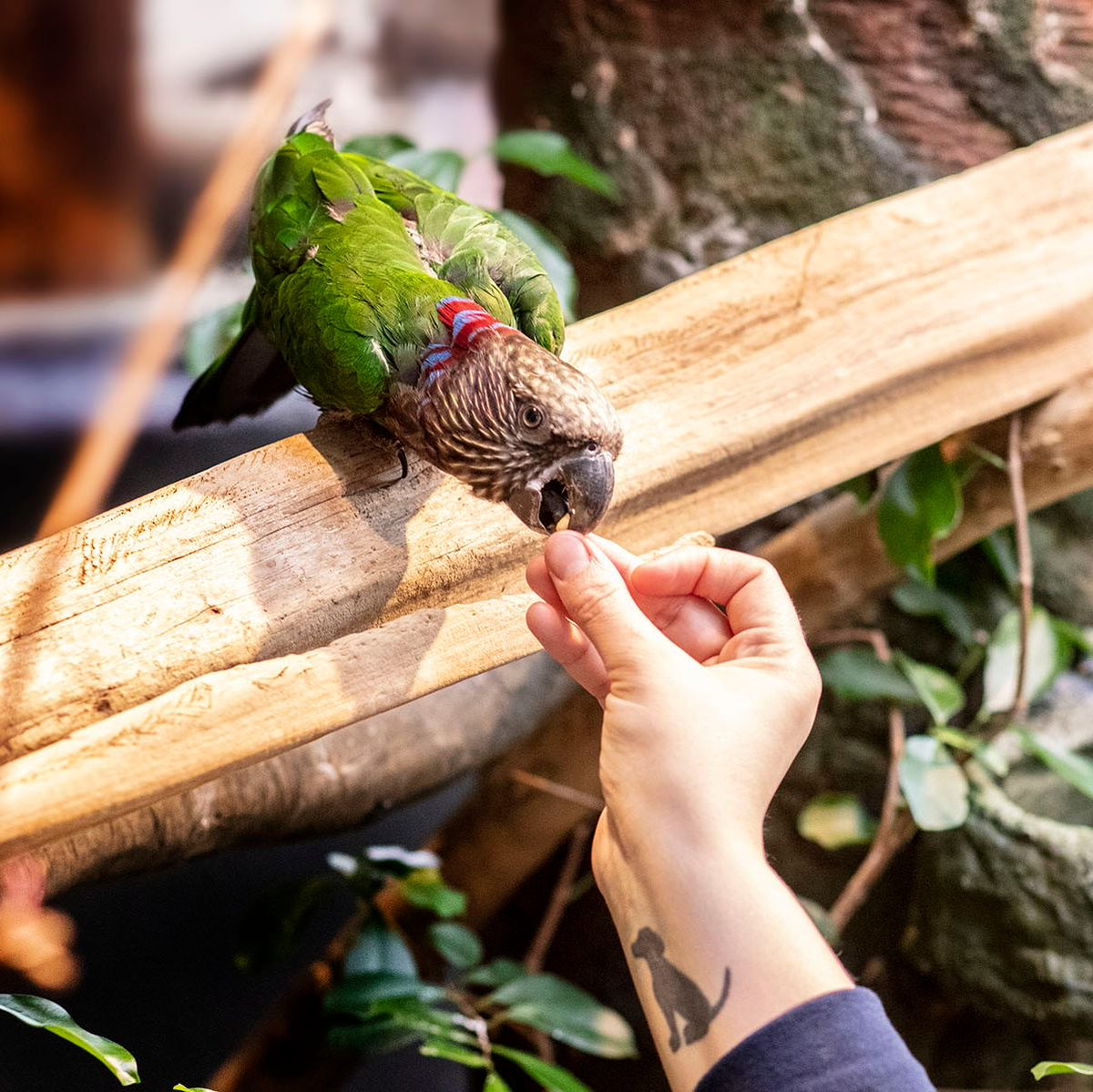 What bird has another bird's title in its name? Meet the hawk-headed parrot! 🦜 This brilliantly beautiful bird was named for the red and purple plumage in its crest. Hawk-headed parrots—Doppler and Ruby—call Amazon Rising habitat home. #NationalBirdDay