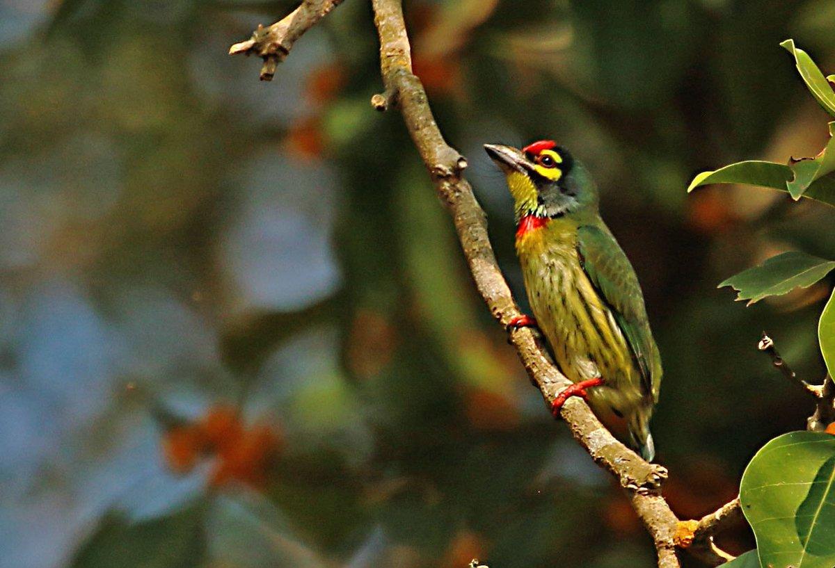 Coppersmith barbet one tiny colourful bird... @IndiAves @Avibase #birds https://t.co/JWNaSJQ3NJ