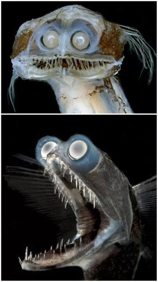 Telescopefish. This deep-sea species can swallow prey larger than itself and lives in depths between 500 and 3000 meters.