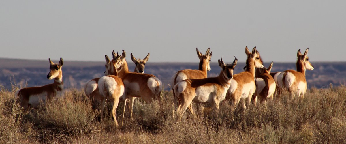 "Pronghorn (Antilocapra americana) are unique North American mammals. Although nicknamed ""antelope,"" they are not related to antelope at all. They are a member of the superfamily Giraffoidea, closest living relatives being giraffes and okapi. (hl) #PetrifiedForest"