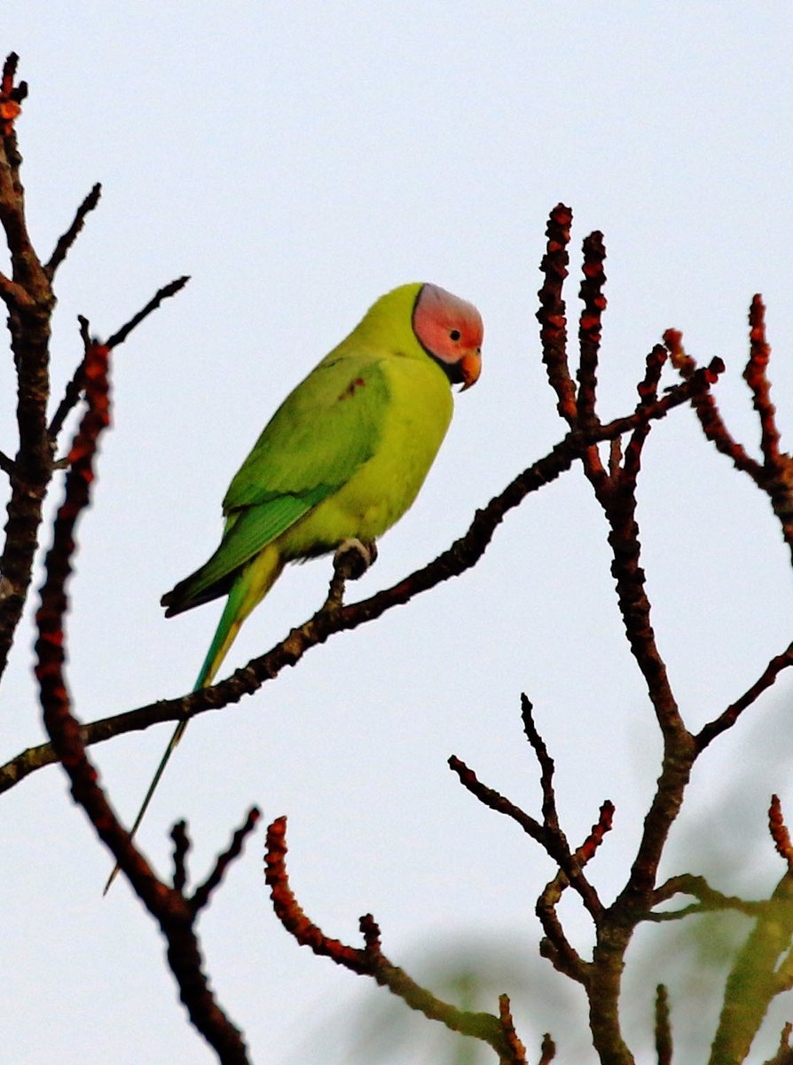 Good morning...The blossom-headed parakeet is a parrot which is a resident breeder, It undergoes local movements, driven mainly by the availability of the fruit and blossoms which make up its diet. @IndiAves @Avibase #IndiAves https://t.co/TzmqXeOr73
