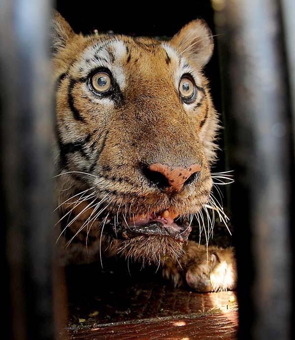 दुधवा टाइगर रिजर्व के जंगल में बाघिन ने किसान की ली जान -  #UttarPradesh #Lakhimpur #DudhwaTigerReserve #tiger