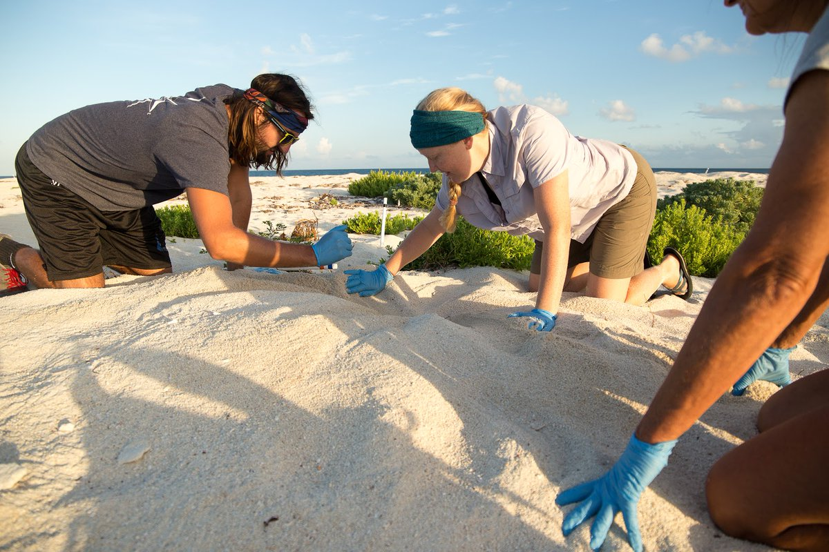 Want to be a park scientist? Here's your chance!  We're accepting applications for a paid intern position with the Sea Turtle Monitoring Program. The Scientists-in-Parks intern will be collecting and working with sea turtle nesting activity and other data.   NPS Photos