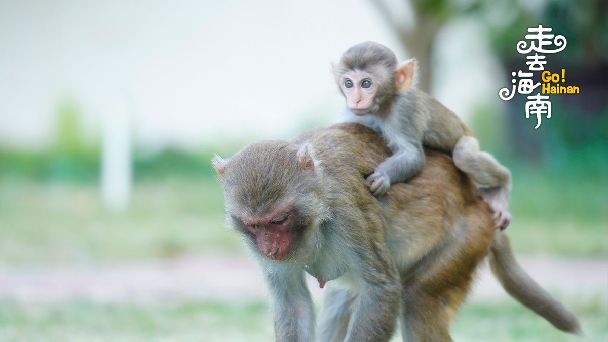 Warm moments of baby macaques and their mother💕#GoHainan #GoChina