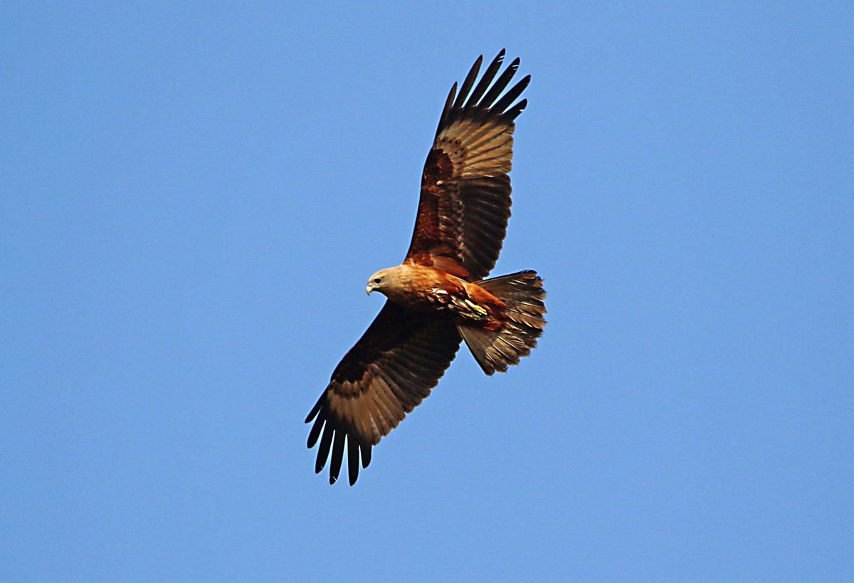Brahminy kite juv.  @IndiAves #IndiAves #birdwatching #birds https://t.co/52CJ0YZG1a