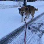 雪道の散歩は辛い?大騒ぎしていたの散歩で連れ出した犬が悲しそうな顔でこっちを見てくる!