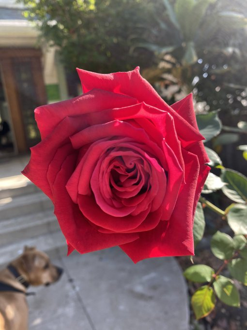 Red roses are for passion and sacrifice. Here is my red rose for you from my garden. Have a beautiful