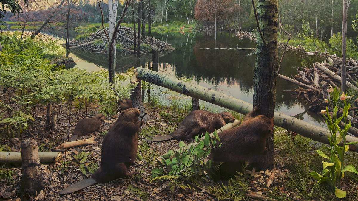 Exhibit of the Day: the North American Beaver diorama! The beaver isn't your typical rodent. It's the largest one on the continent, & the only one that can cut down mature trees.🌳🌳  See it in the Hall of North American Mammals! Plan your weekend trip: