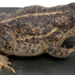 Image for the Tweet beginning: All UK amphibians must hibernate