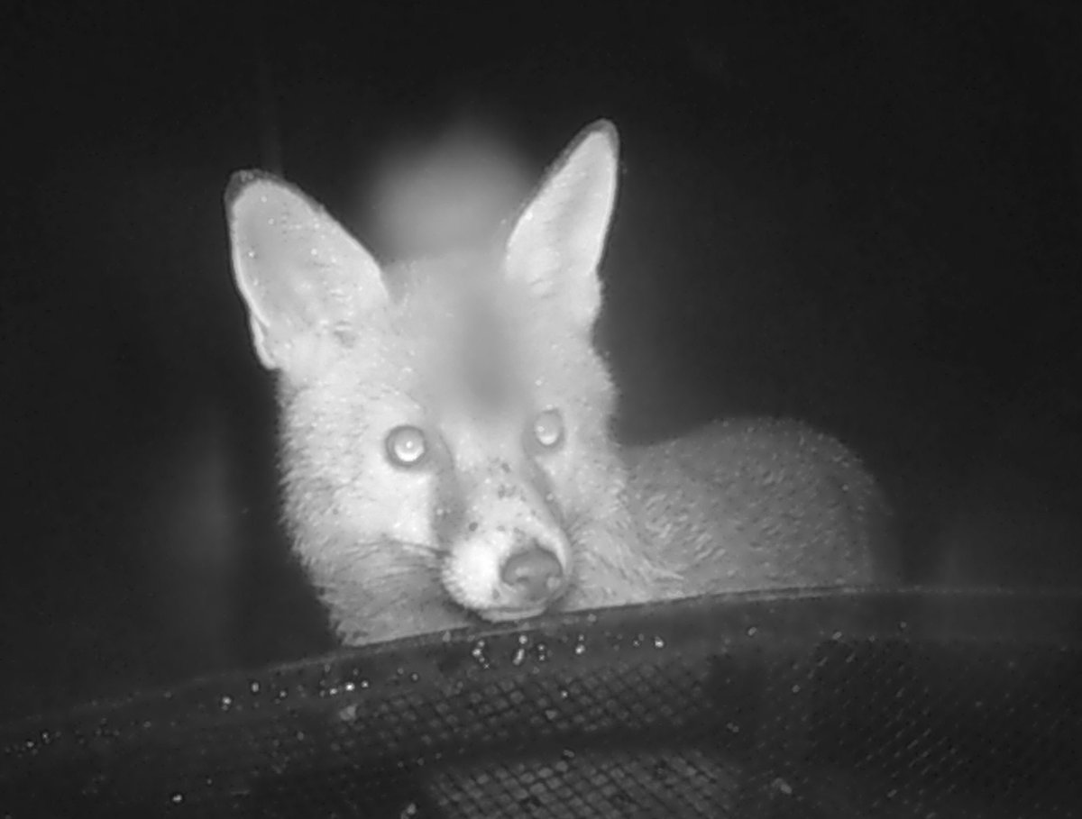 Nice bit of camera trap action in my garden last night 😀