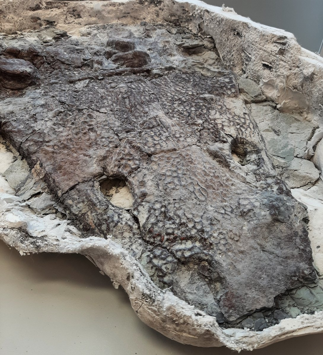 Fossil preparators have been removing rock from the skull & vertebrae of a 223 million-year-old amphibian called Anaschisma browni. Visit the Museum Demo Lab at the Painted Desert Visitors Center to gaze into the eyes of the past for yourself. (db) #fossilfriday #npspaleo #eyes