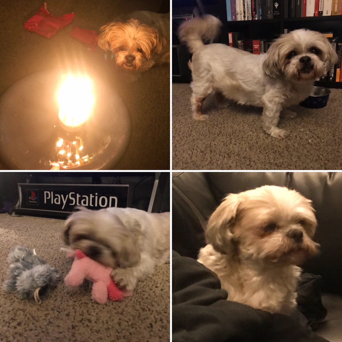 616Entertainment - HAPPY BIRTHDAY PATCH! Our little old man Patches Lugosi turned 11 today! He got two new toys, his own little cake, and some roast beef mixed in with his dinner. He's spoiled to the moon and back! We love you, Patcharone. ❤️