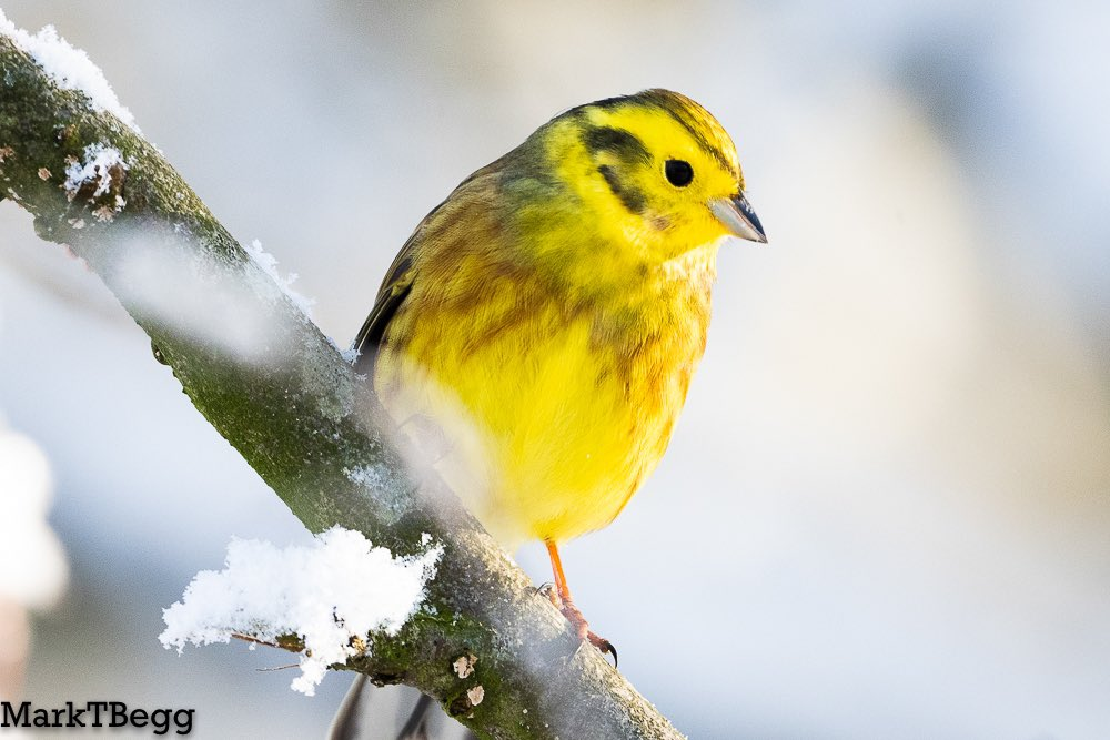 Yellowhammer in the snow https://t.co/nvmJCUZH9F