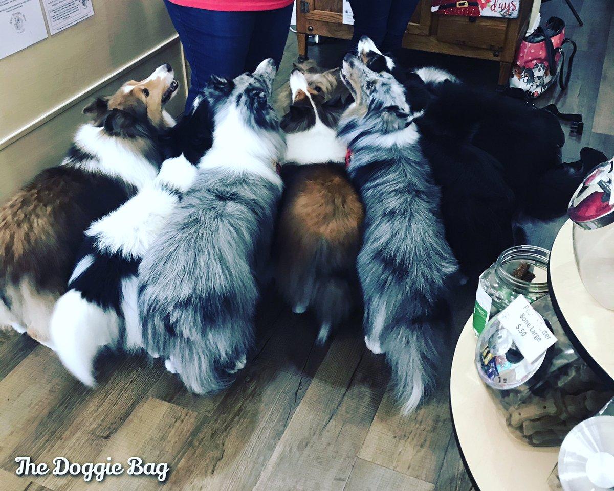 Gather round kiddos, it's Treat Time at The Doggie Bag!🐶 #treatyoself #treattime #snacktime #treats #sheltie #shetlandsheepdog #gathering #thedoggiebag #petboutique #happyplace #bestjobever #dogsoflakeland #lakelanddogs #dogmomsoflkld #aroundlakeland #lakelandflorida #lakelandfl
